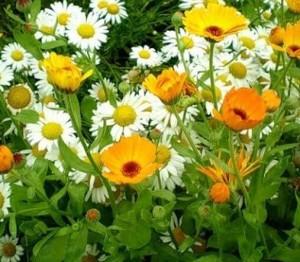 Цветки календулы и ромашки лекарственной